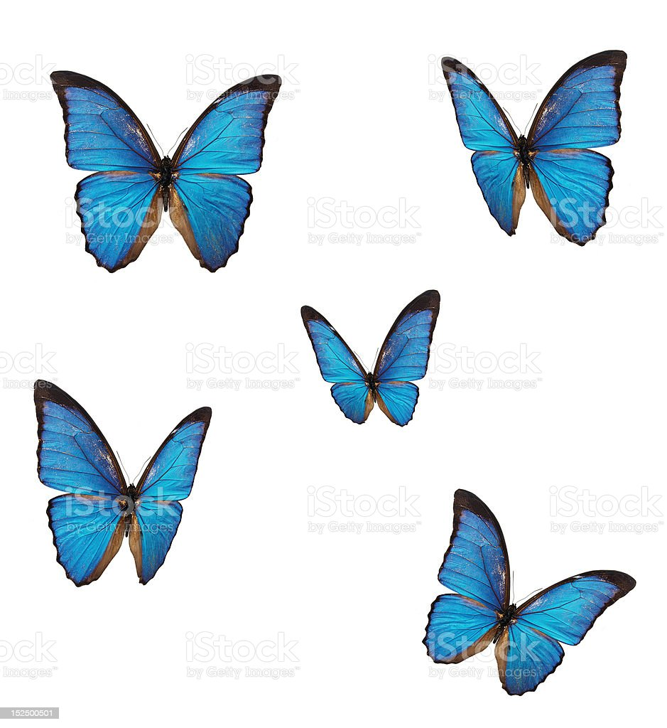 The blue morpho butterfly stock photo