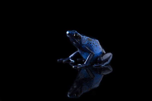 the blue poison dart frog isolated on black background - croak stock pictures, royalty-free photos & images