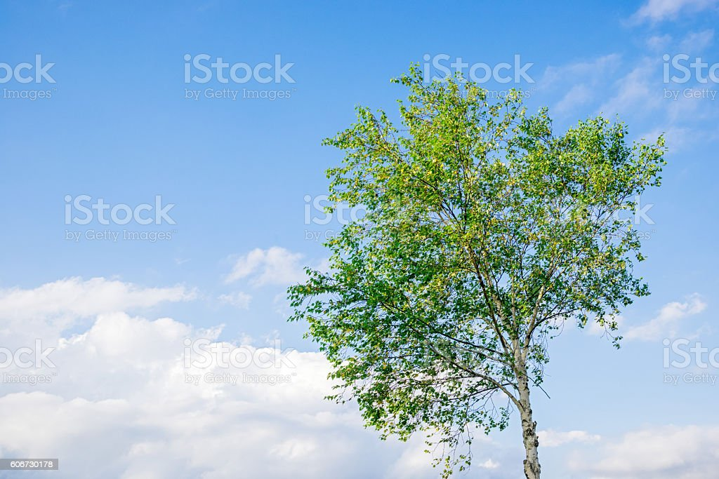 The blue sky and white birch tree stock photo