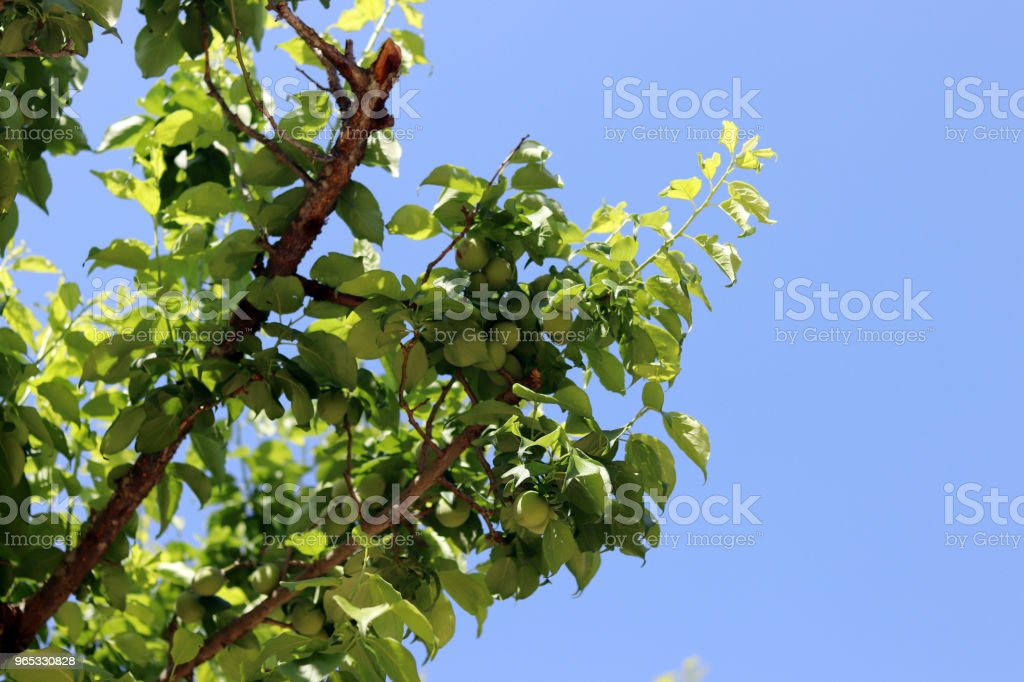 The blue sky of early summer and the growing plums. royalty-free stock photo