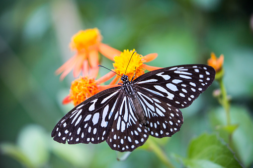 The Blue Tiger (Tirumala limniace) is a butterfly found in India that belongs to the crows and tigers, that is, the danaid group of the brush-footed butterfly family. This butterfly shows gregarious migratory behaviour in southern India.