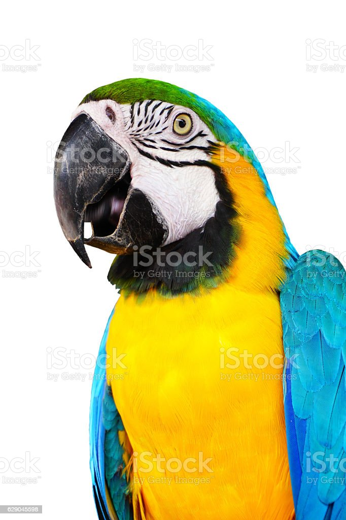 The blue-and-yellow macaw, (Ara ararauna) white background included clipping path stock photo