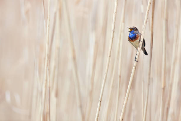The bluethroat (Luscinia svecica). Wildlife scene from Czech nature. Bird in nature habitat. Bird sitting on a branch and singing spring songs. stock photo