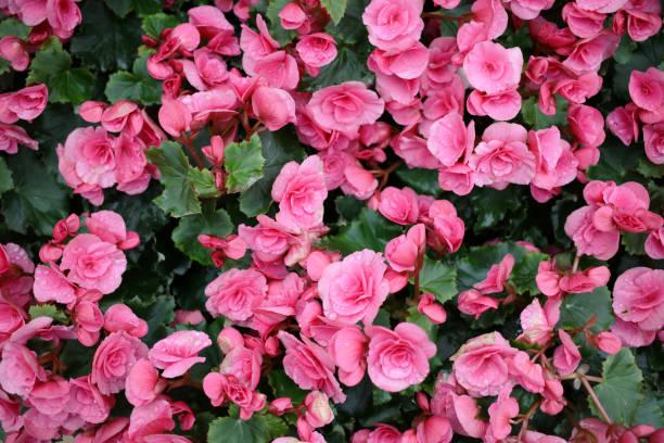 海棠花模糊的變形圖像圖像檔