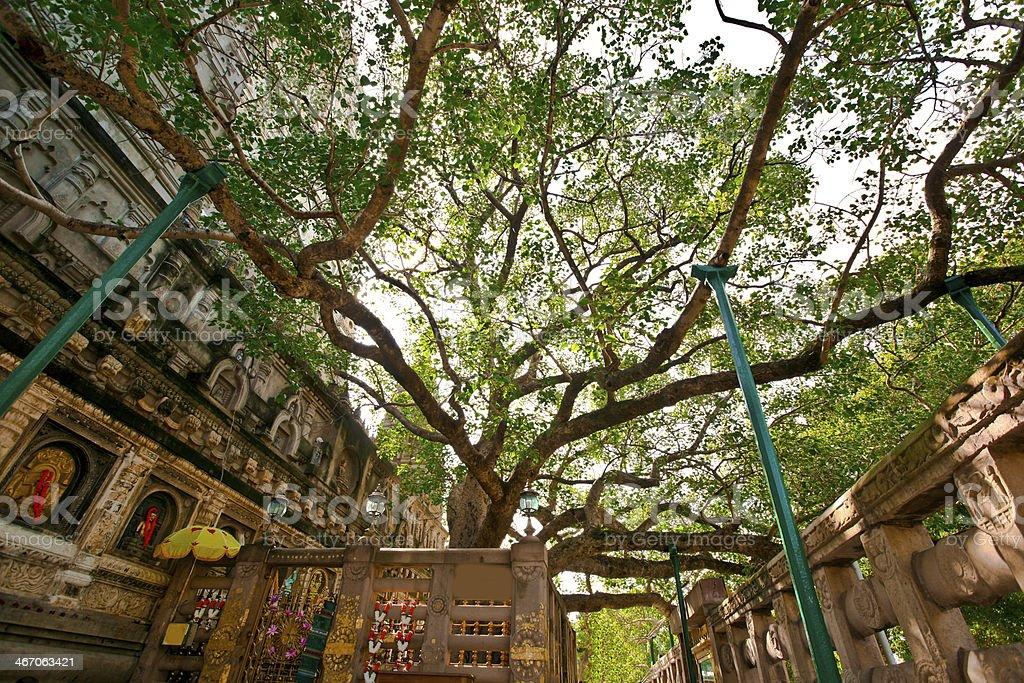 The Bodhi Tree stock photo