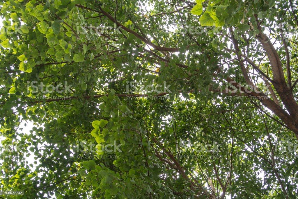 El árbol de bodhi - foto de stock