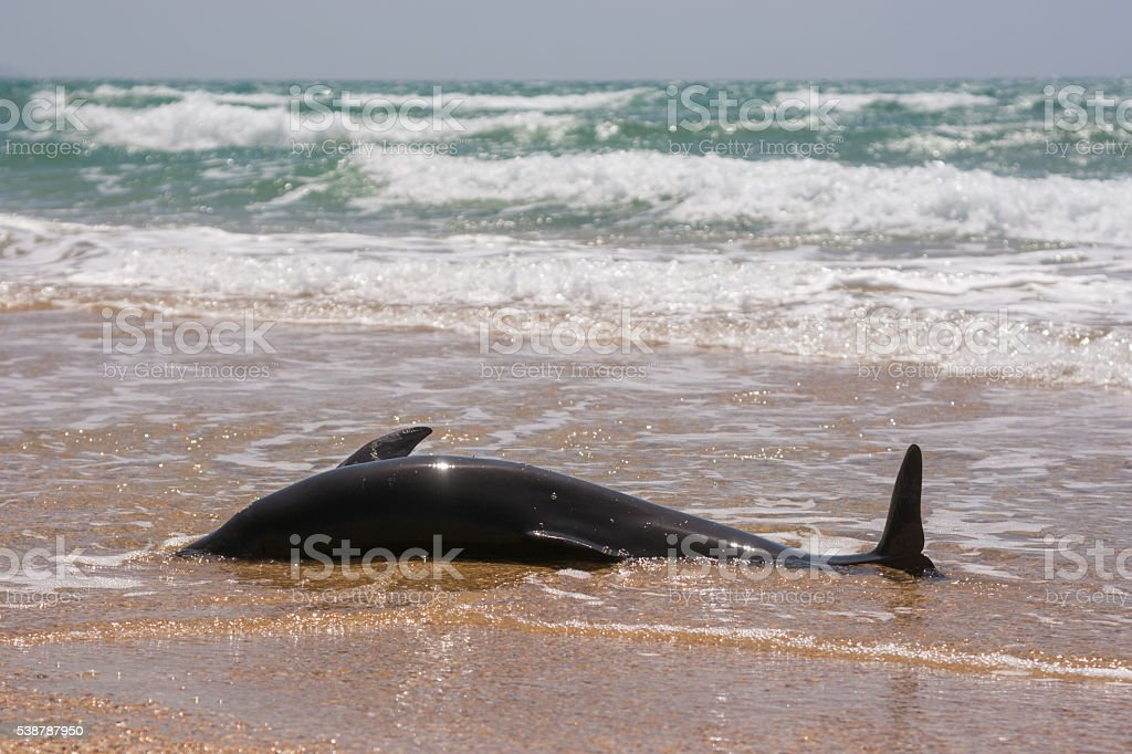The body of a dead bottlenose dolphins washed ashore stock photo