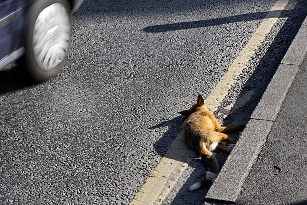 urban red fox roadkill in merton england - whiteway fox stock photos and pictures