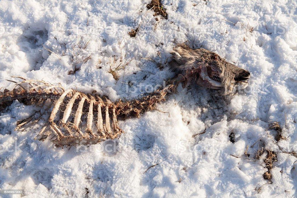 The bones wild roe on the snow. stock photo