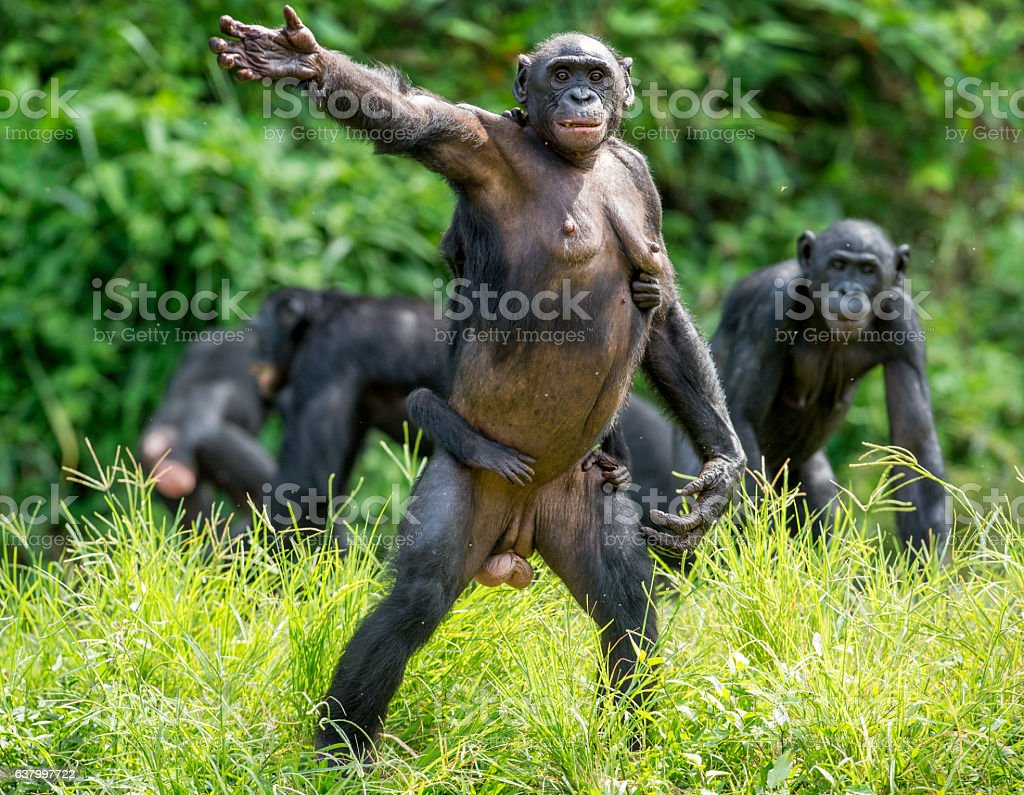 Le Chimpanzé pygmée famille - Photo