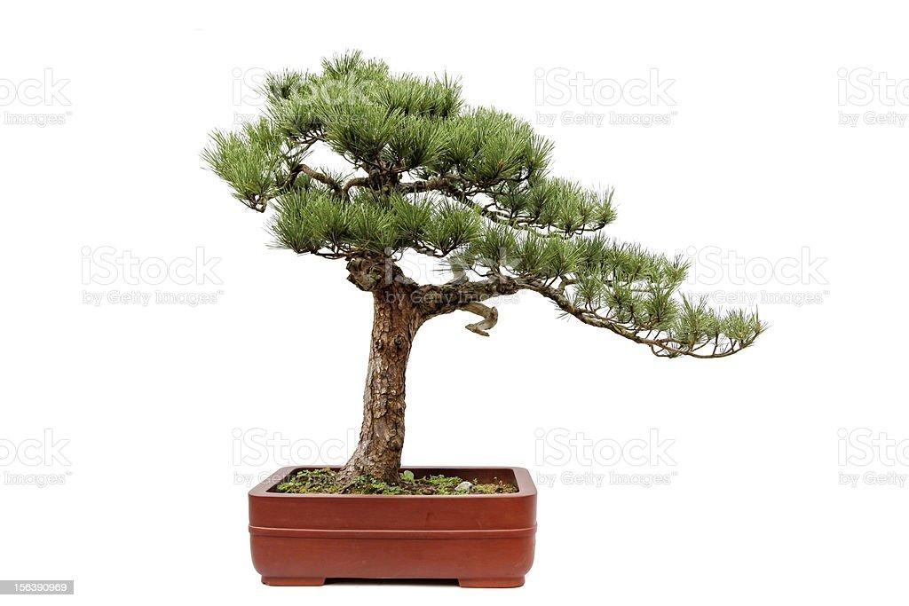 Das bonsai von Gäste-Begrüßung Kiefer mit Weiß – Foto