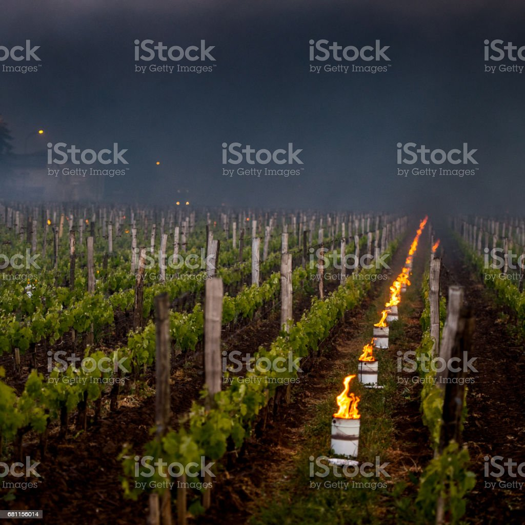 The Bordeaux vineyards affected by a devastating frost stock photo