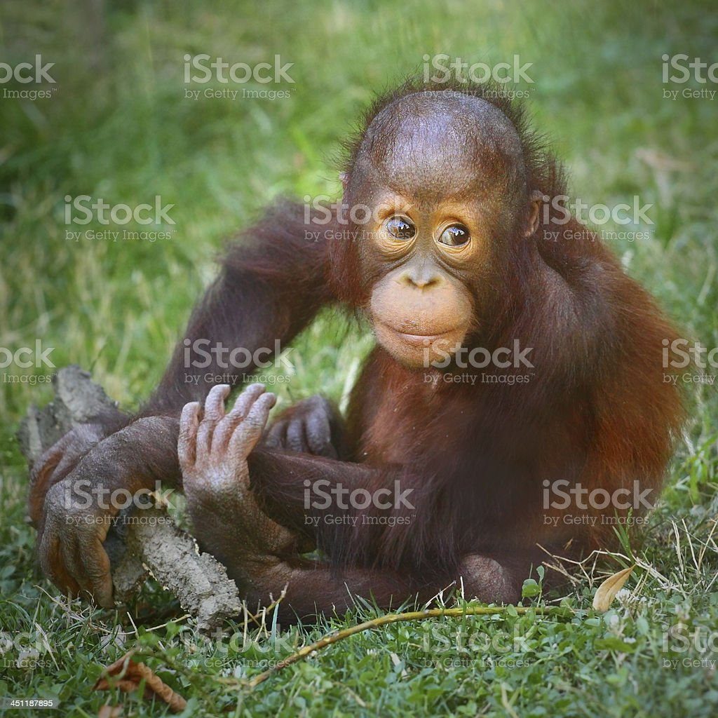 The Bornean orangutan (Pongo pygmaeus). stock photo