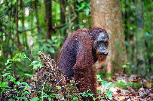 istock The Bornean orangutan. 504608716