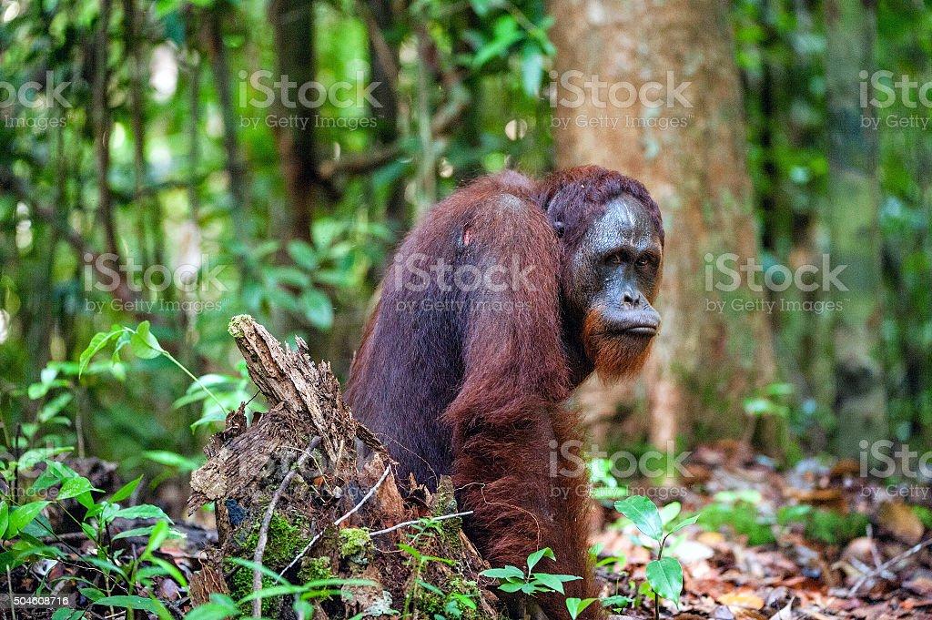 The Bornean orangutan. stock photo