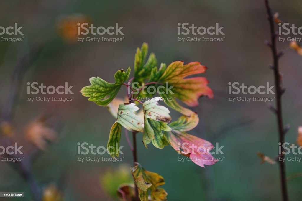 The Botanical garden. Colored autumn leaves on a bush branch in the city park. In the background, a blurry twig royalty-free stock photo