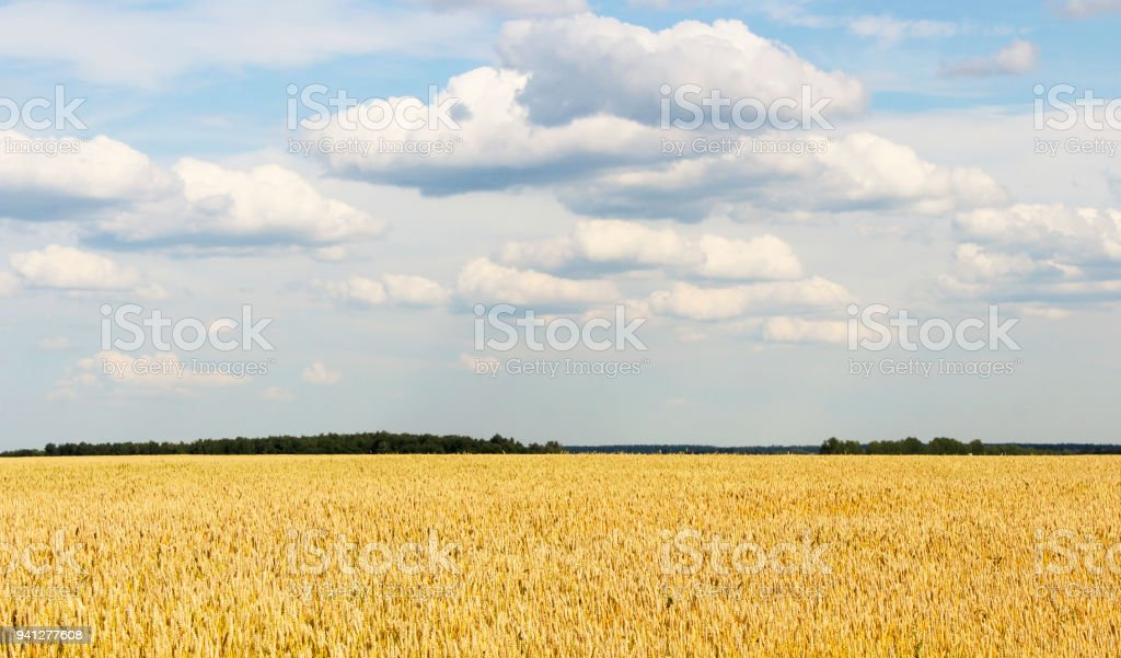 The boundless wheat field stock photo
