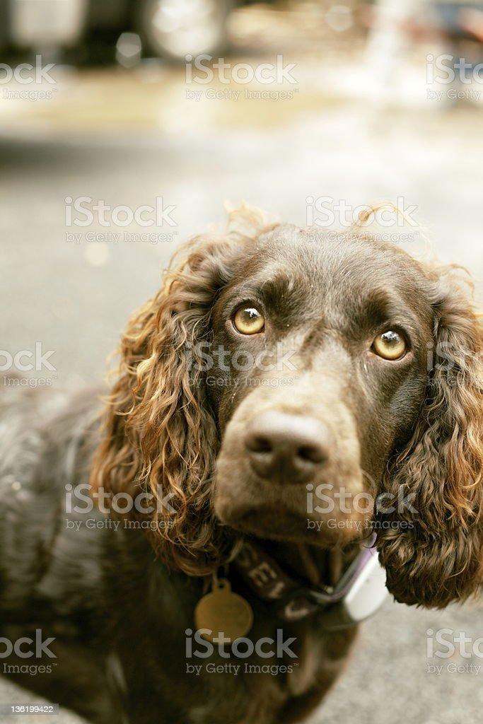 The Boykin Spaniel stock photo