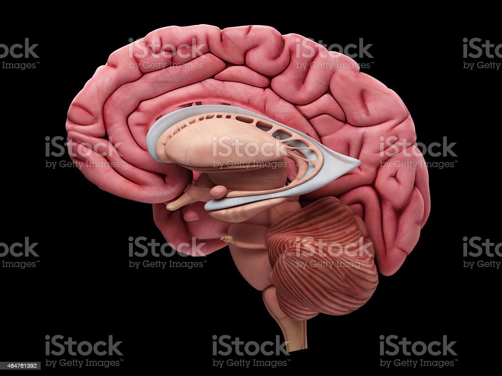 The brain anatomy stock photo