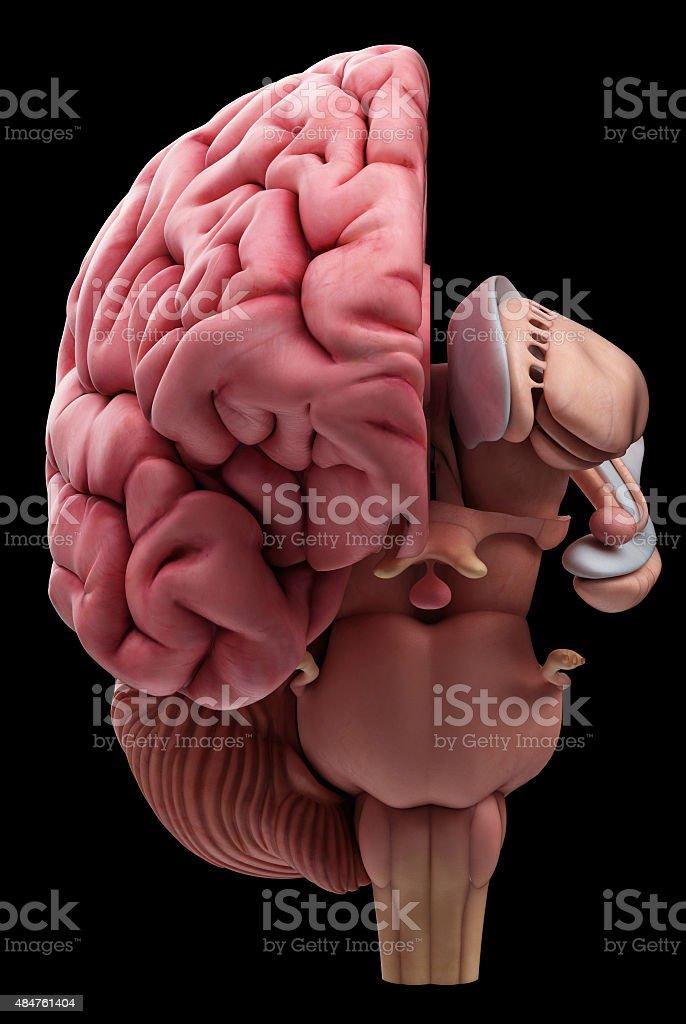 The brain anatomy stock photo