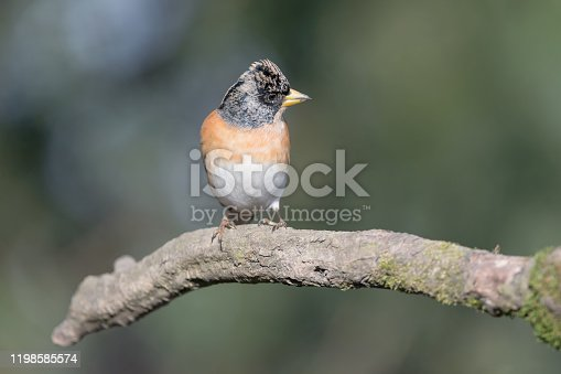 portrait of mountain finch