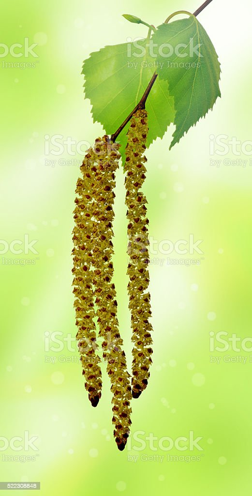 The branch of a birch in sunlight (close-up) stock photo