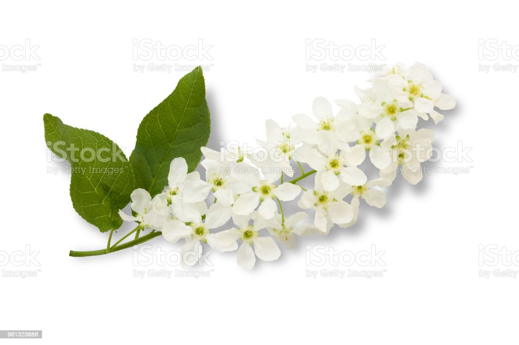 The Branch Of Birdcherry Tree Prunus Padus Isolated On A