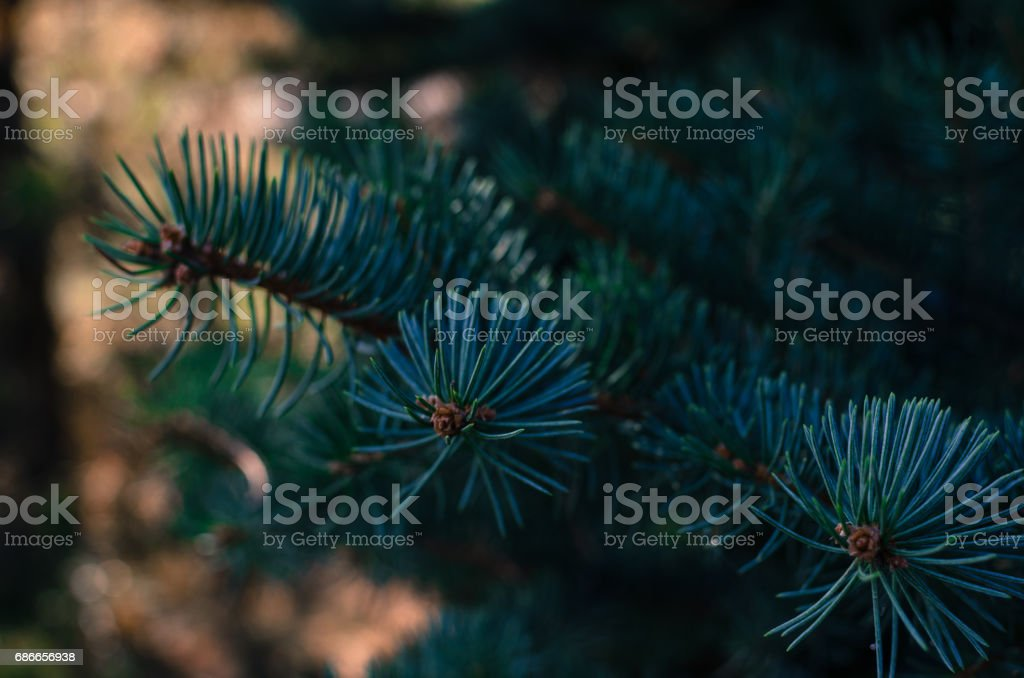 The branch of blue spruce royalty-free stock photo