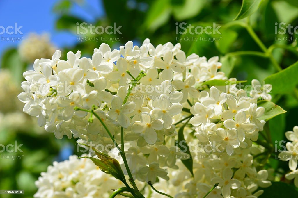 The branch of lilac stock photo