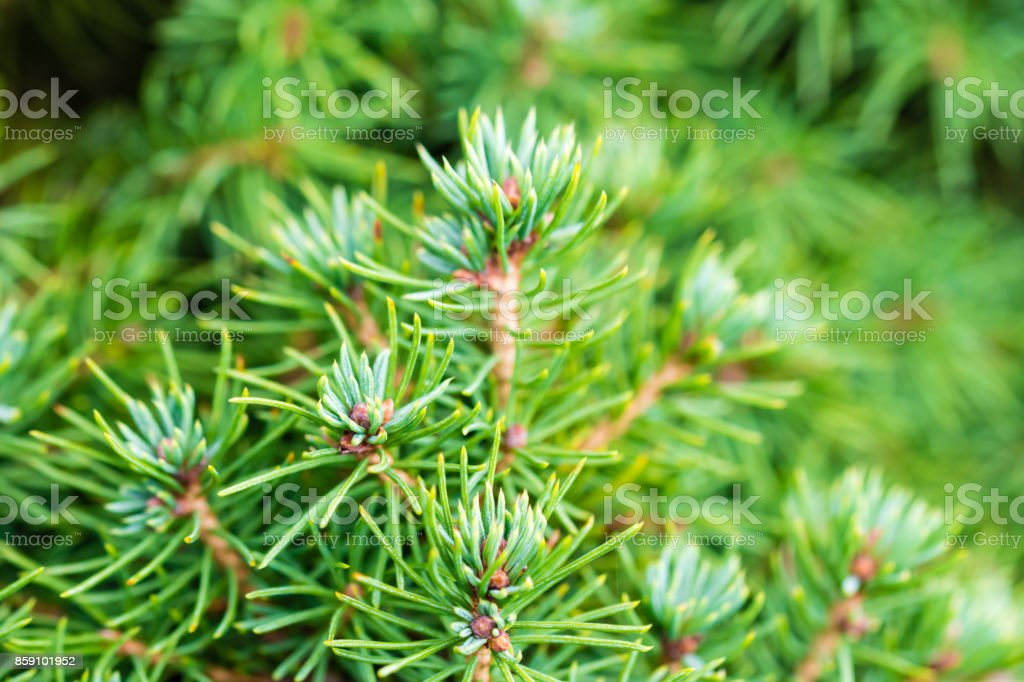The branch of silver coniferous tree stock photo