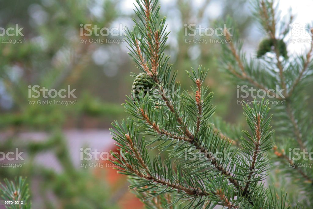 The branch of the fir-tree was drunk with the green cone in the blurred natural forest background stock photo