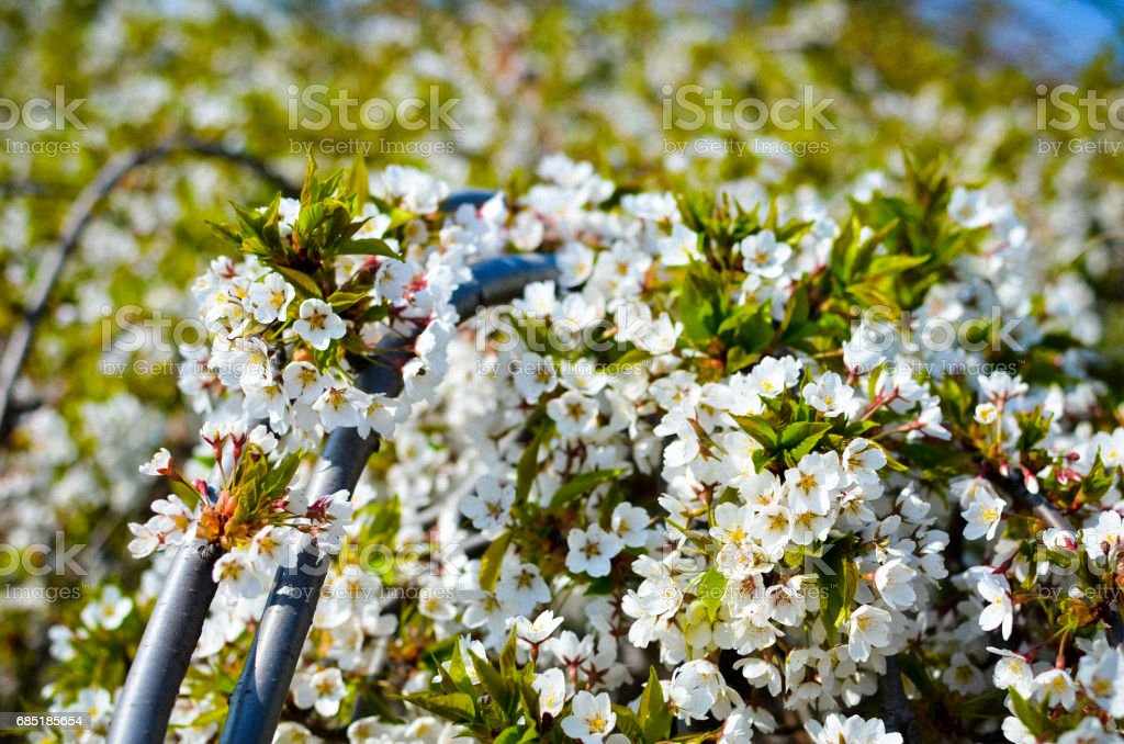 The branches of a blossoming cherry tree with white flowers royalty-free stock photo