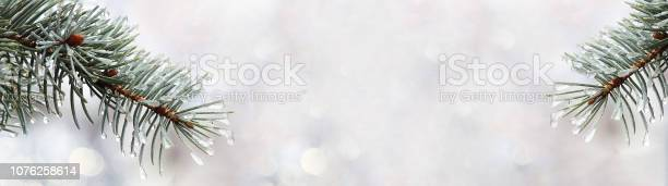 Photo of The branches of blue spruce or pine. Needles are covered with frost and water droplets. Christmas background. Selective focus, close-up. Banner