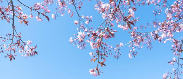 the branches of cherry blossoms, cherry, against a blue sky. - cherry blossoms imagens e fotografias de stock