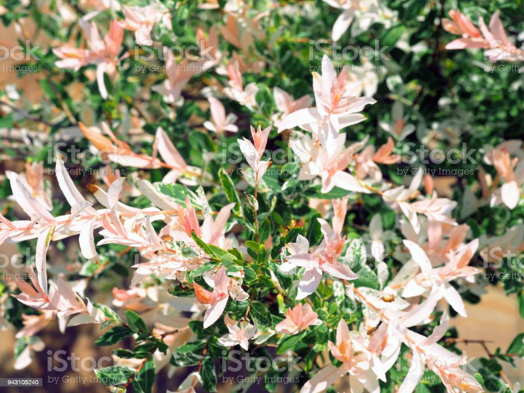 The branches of the willow are whole-leafed Japanese. Natural white, pink and green background. Salix integra Hakuro-Nishiki stock photo
