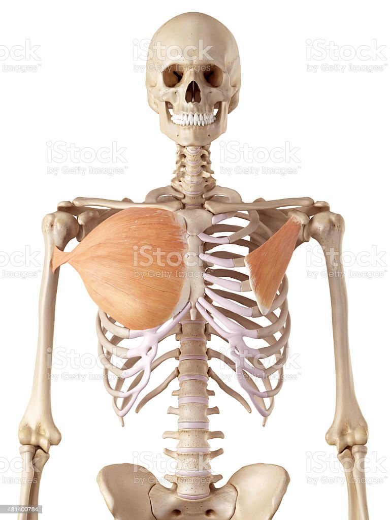 the breast muscles stock photo