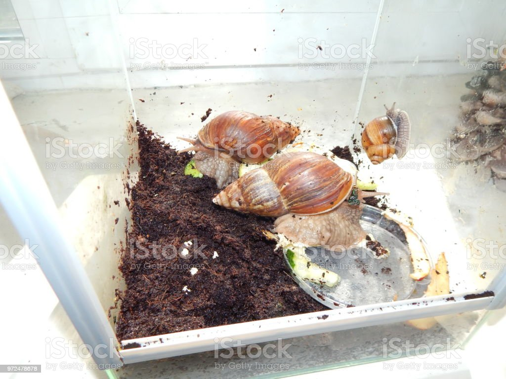 The Breeding Of Large Snails In The Terrarium Of The House Stock Photo Download Image Now Istock