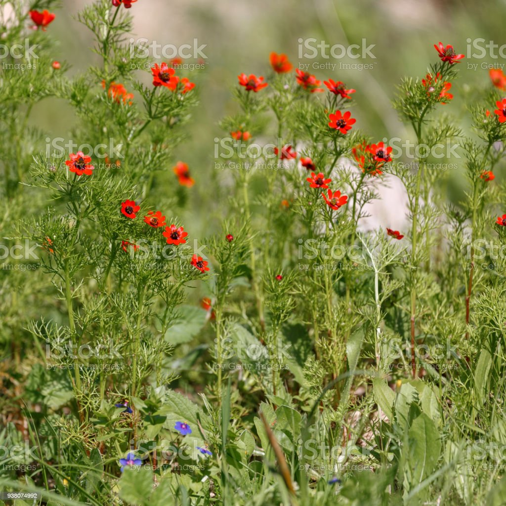 The bright red adonis microcarpa flowers stock photo more pictures the bright red adonis microcarpa flowers royalty free stock photo izmirmasajfo