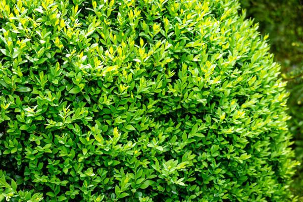 The bright shiny young green foliage of boxwood buxus sempervirens as picture id1150926685?b=1&k=6&m=1150926685&s=612x612&w=0&h=tmfr8gah5mqcysn76xraphsedwwo3sfmtzzahbkkulw=