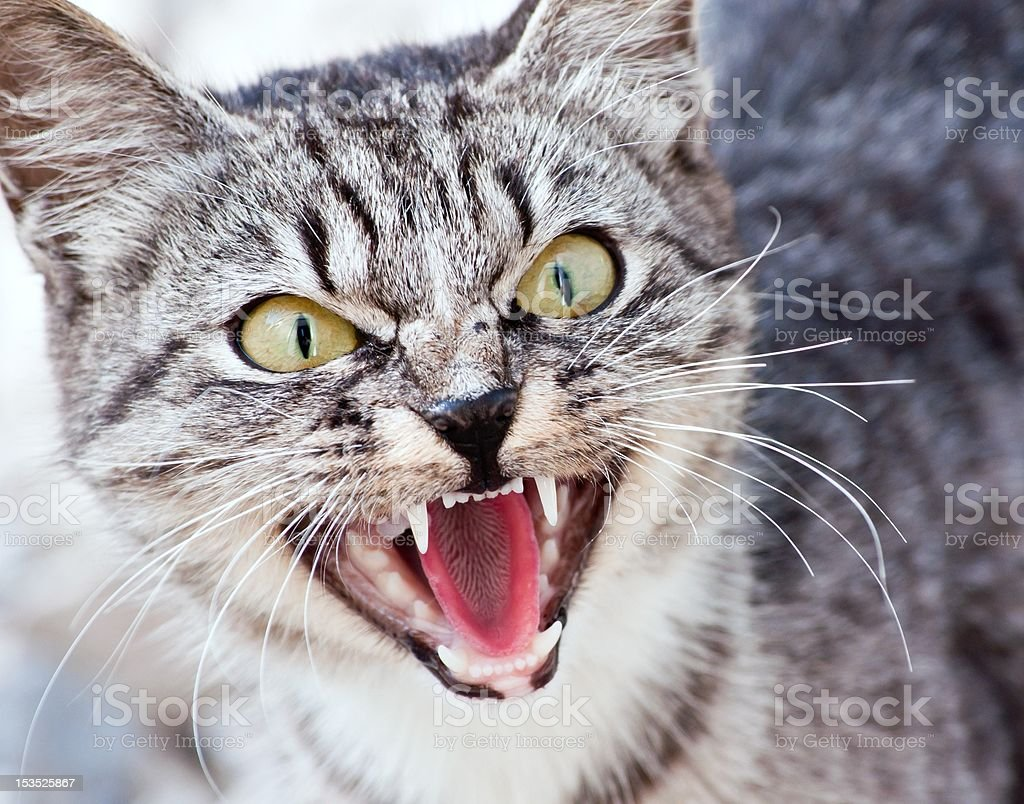 The British cat stock photo