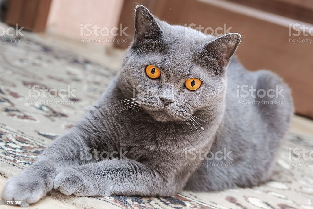 The British cat royalty-free stock photo