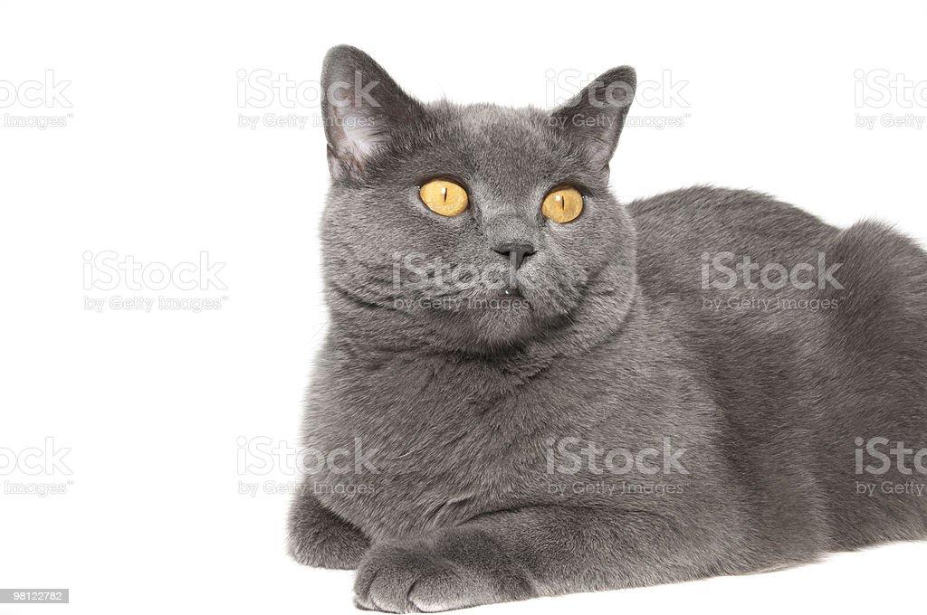 The British cat royalty-free stock photo