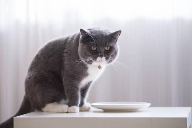 O gato de cabelo curto britânico está a comer. - foto de acervo