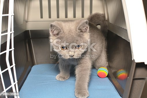 istock The British shorthair kitten sits inside the cage. 958438050