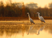 great egrets in pond in golden light.