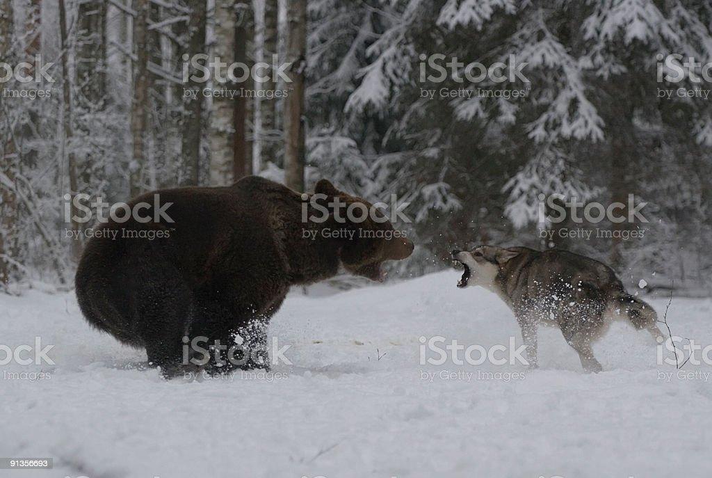 L'ours brun attentats. - Photo