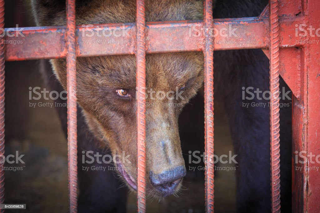 The brown bear looks askance at somebody from the cage stock photo
