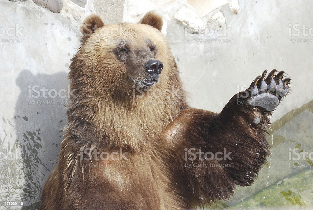 The brown bear welcomes with a paw stock photo