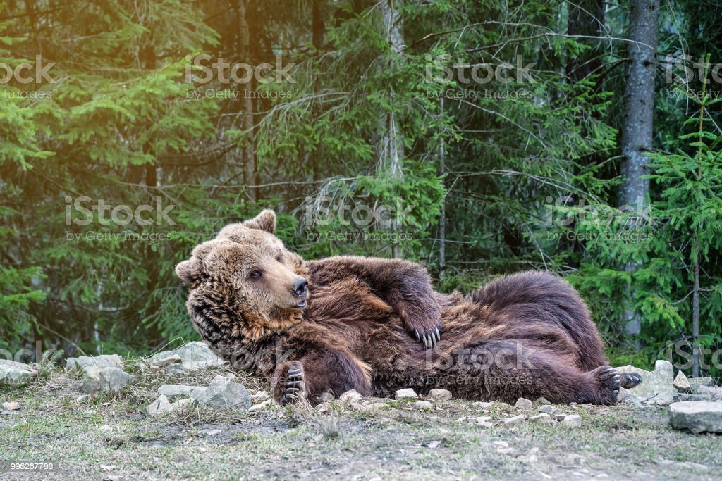 the brown bear woke up in the woods stock photo