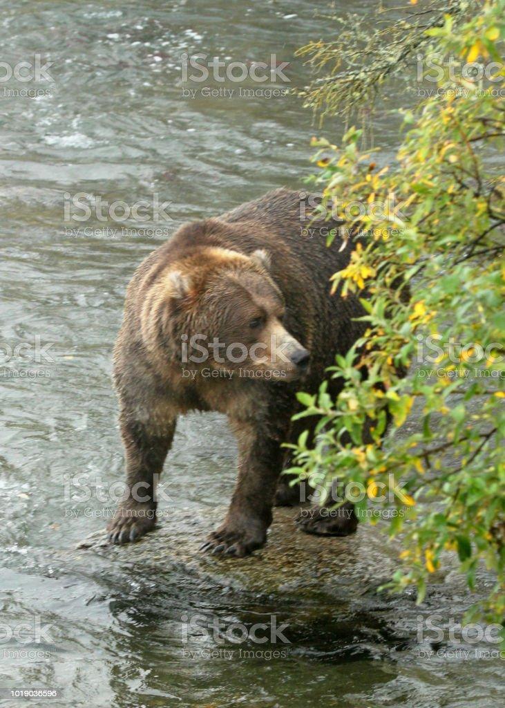 The Brown Bears of Katmai, Alaska stock photo